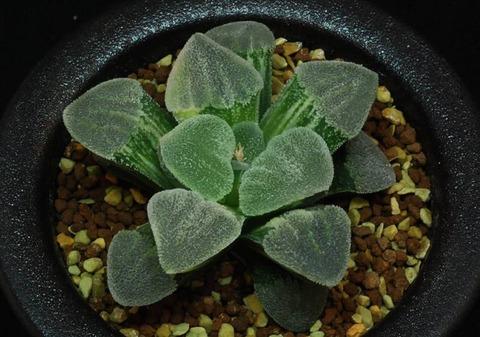 63-pygmaeavarieg-izunoharu-itosyunji