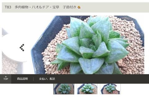 ㉙レツーサ交配-宝草子苗付き