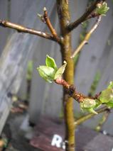 姫りんごの芽吹き