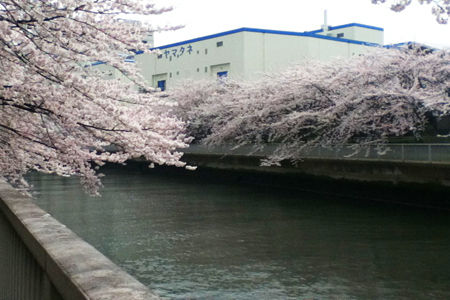20130329sakura1