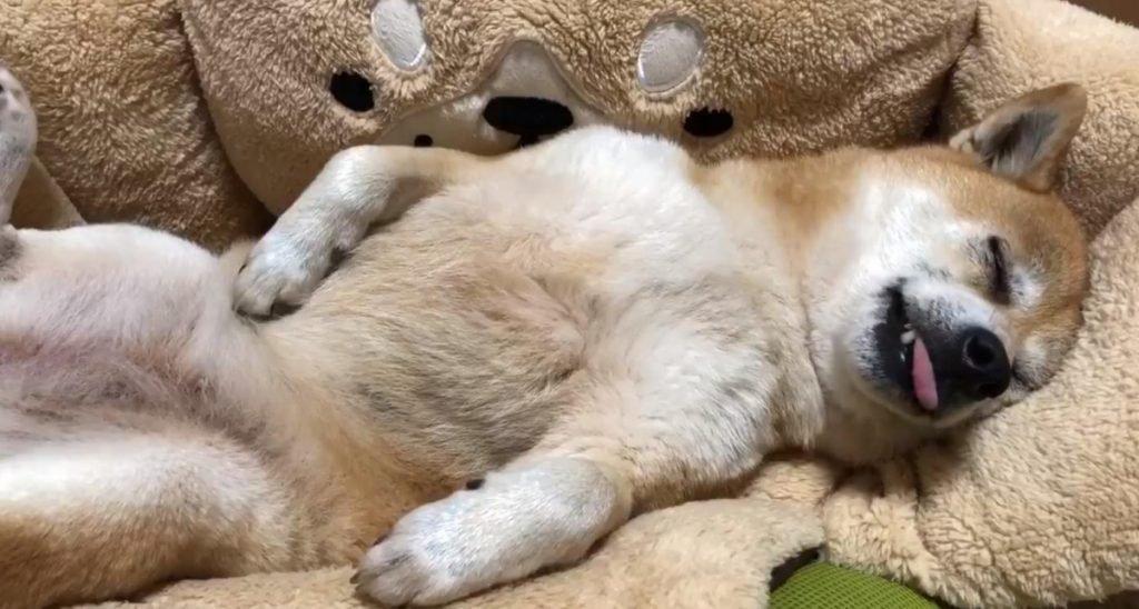 柴犬がゴロ寝した結果→「もはや人間、もはやオッサン」「人が入ってますよ?」
