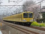 101N_sakura_001