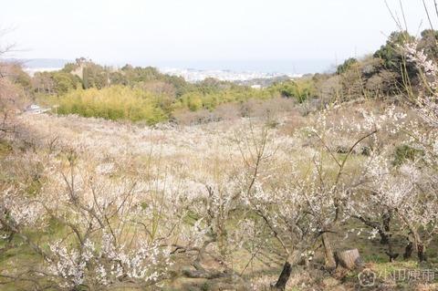 辻村植物公園 小田原市公式様より拝借 久良岐のよし
