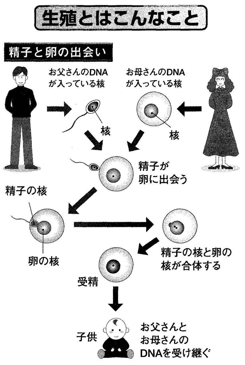 乳房の発達段階