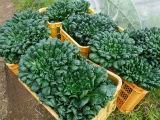 12月4ターサイ収穫
