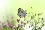 シジミ蝶4