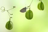シジミ蝶3