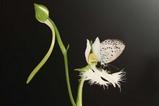 シジミ蝶6