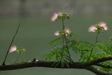 ネムの花3