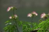ネムの花5