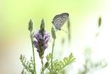 シジミ蝶1