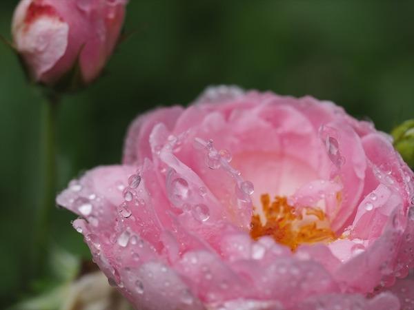rose40428