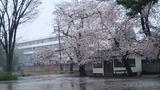 北関東の桜