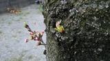 桜の硬い蕾