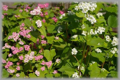 そばの花1-180511