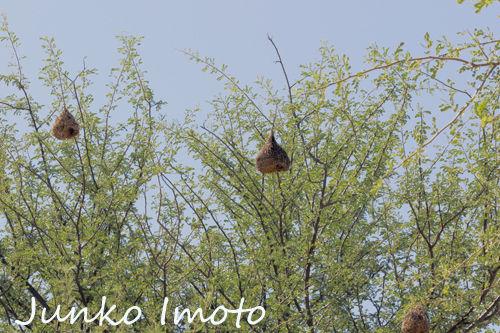ハタオリドリの巣
