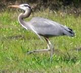 gray heron-2