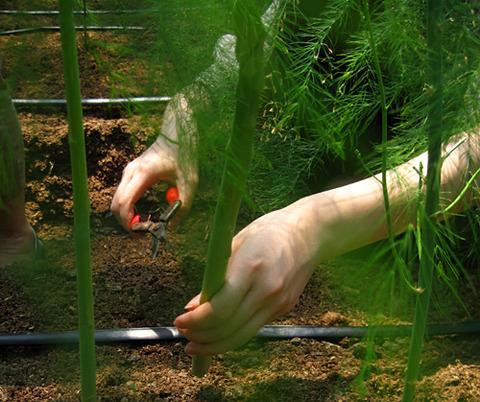 アスパラの収穫体験をしました!