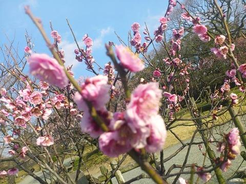 梅を見に行ってきました。
