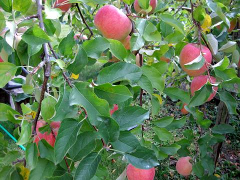 朝倉市へりんご狩にいってきました!