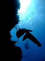 水面に向かうサメ