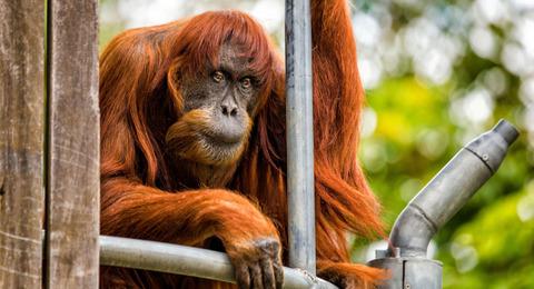 【あなたとオランウータン、より利口なのはどっち?】  英ガーディアン紙が米スミソニアン動物園のテストを出題