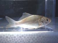 P8150525_ginbuna-2