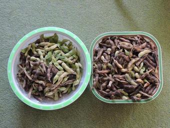 大豆収穫 (2)