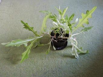 ガーデンレタス 収穫 (1)