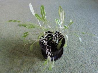 ガーデンレタス 収穫 (3)