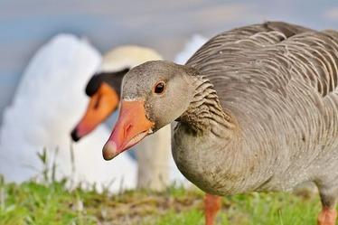 goose-3506513_640