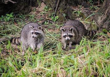 raccoons-439883_640