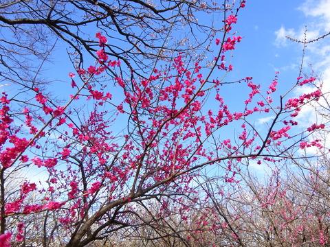 大川原梅園の梅の花2017