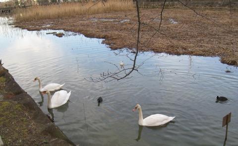 こざと公園の白鳥