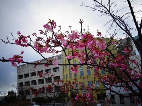 妙典小学校前の河津桜2017