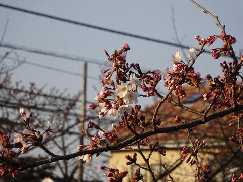 JAいちかわ本店前の桜2017