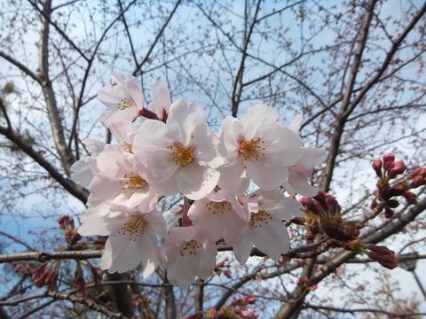 大洲防災公園桜2017