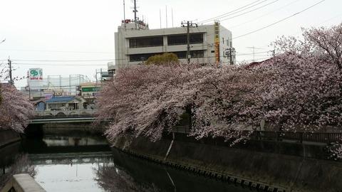 市川消防局近くの桜