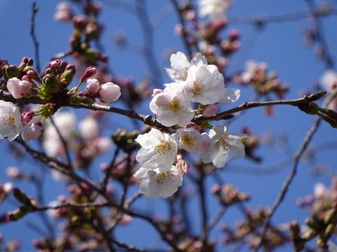 市川市真間川沿いの桜2017
