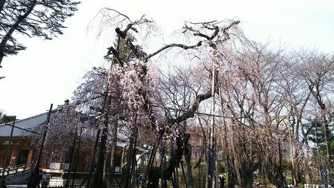 真間山弘法寺枝垂れ桜