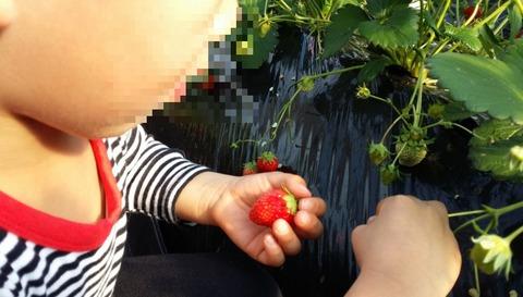 イチゴ狩り古川園