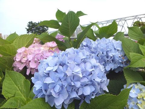 image8_あじさい1