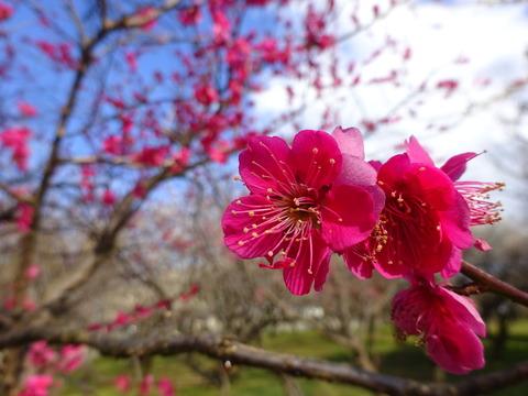 大川原梅園の紅梅
