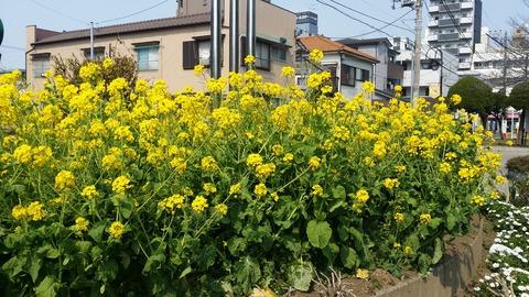 弁天公園の菜の花