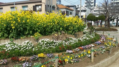 行徳/弁天公園の菜の花