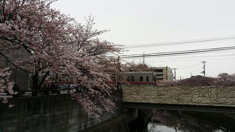 京成鬼越駅近くの桜