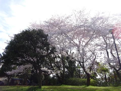 里見公園分園の桜