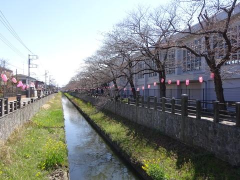 真間川の桜並木2017