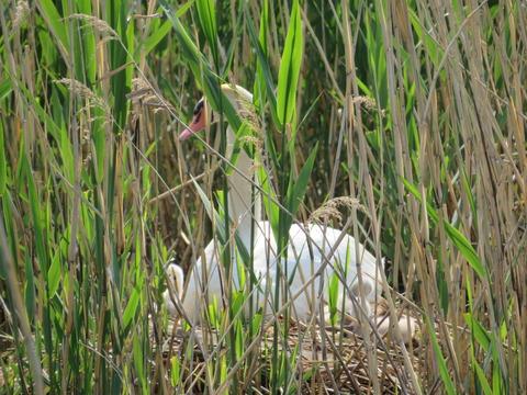 白鳥のヒナ