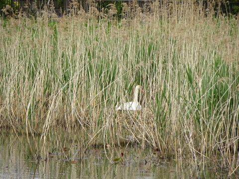 こざと公園の白鳥2017